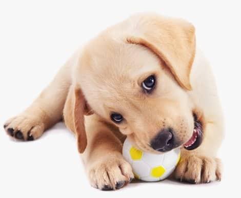 כלב משחק עם צעצוע