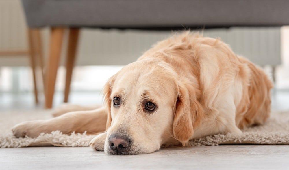 כמה זמן כלב יכול להישאר לבד?